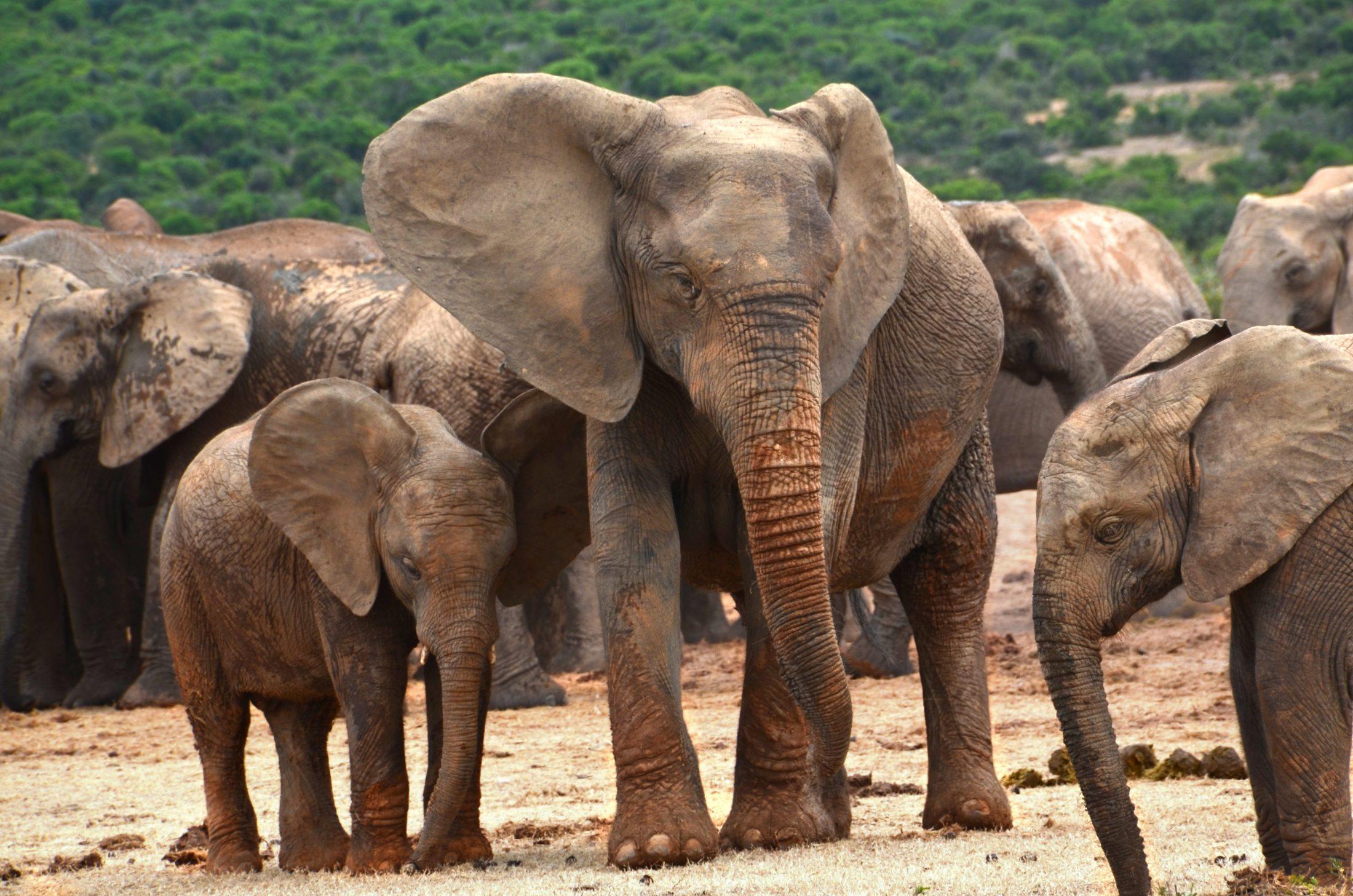 Elephant herd; Image via Pixabay