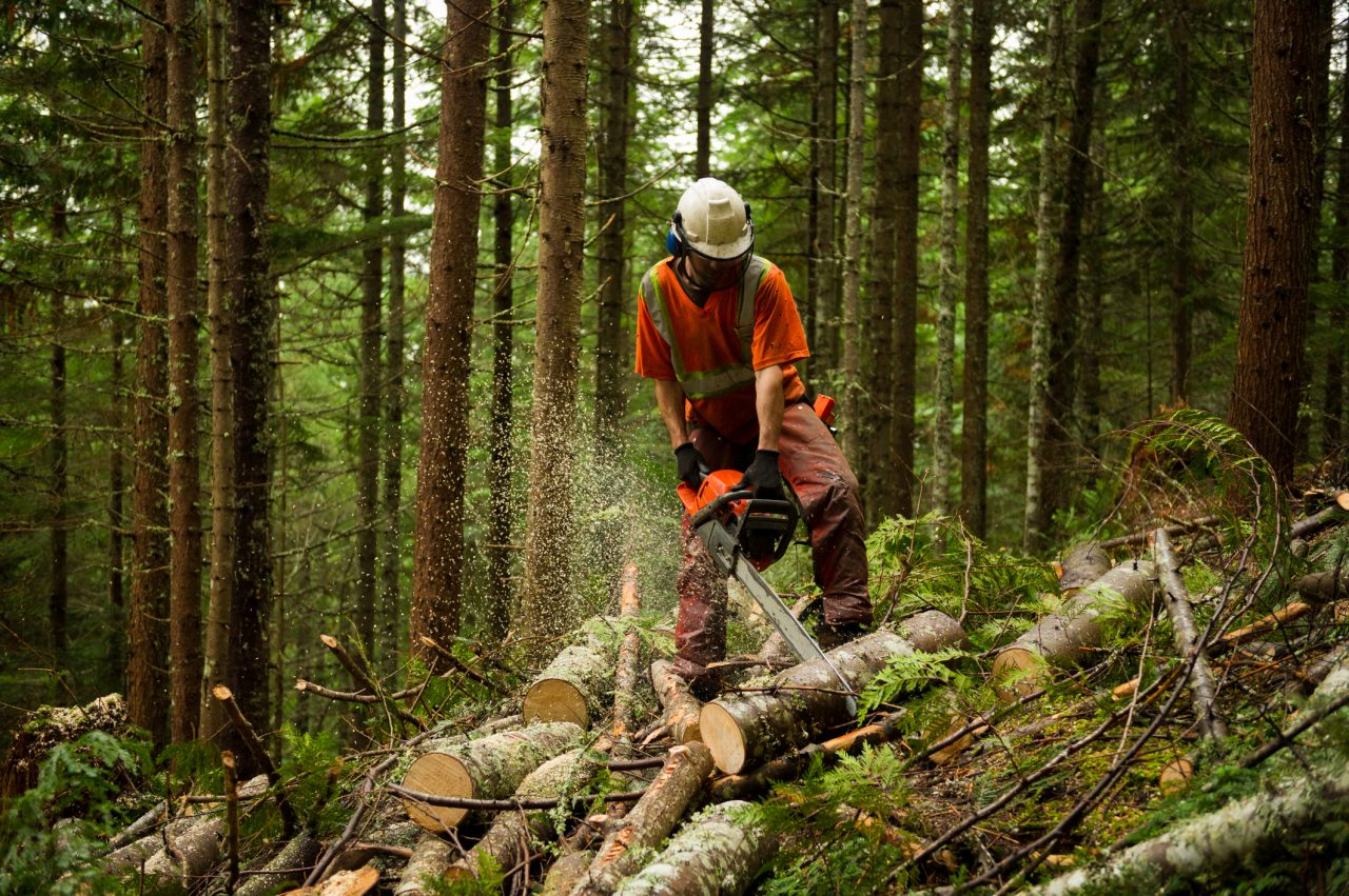 Photo of worker thinning trees in a forest to help prevent large wildfires. Legislators are looking at a plan to improve policy on California forest management. } Photo by stockstudioX via iStock