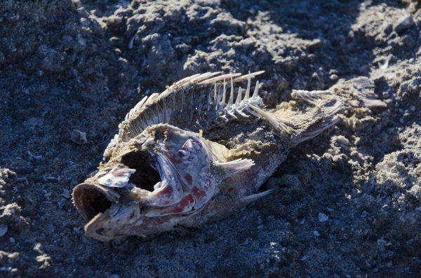 Fish remains, Salton Sea