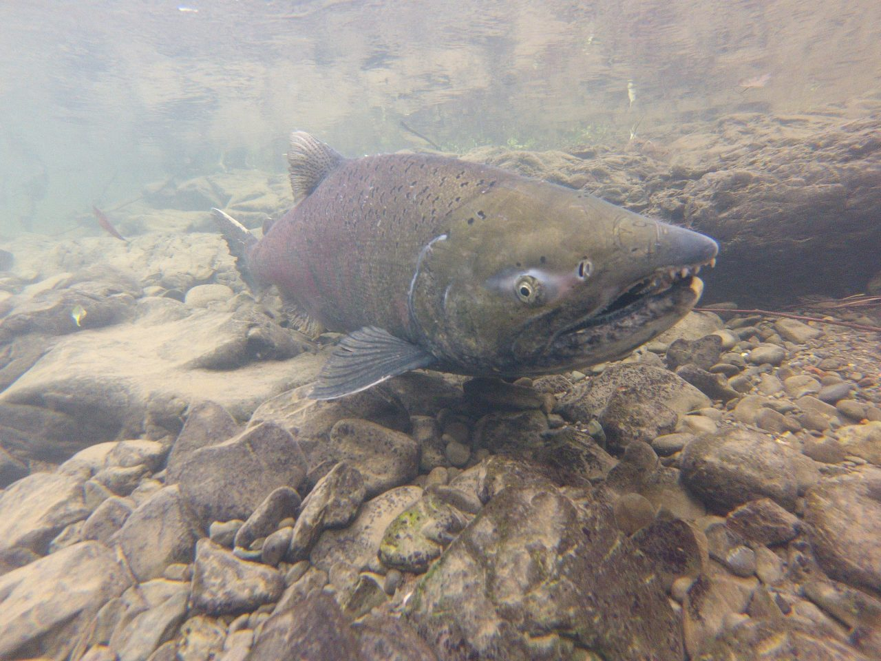 A male Chinook salmon returns from the Pacific to spawn. Photo via California Sea Grant/Flickr