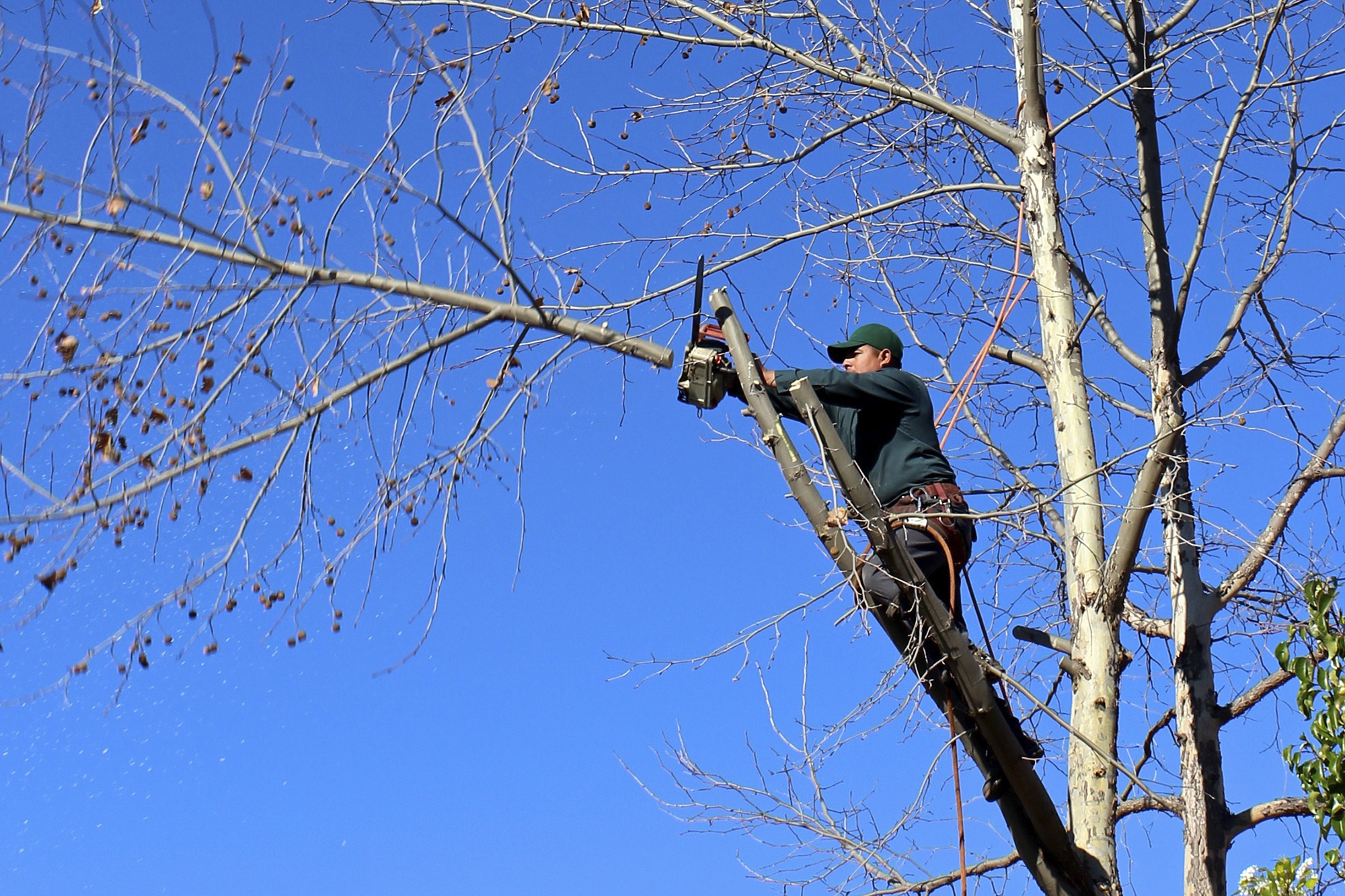 A man trims tree branches with a saw.