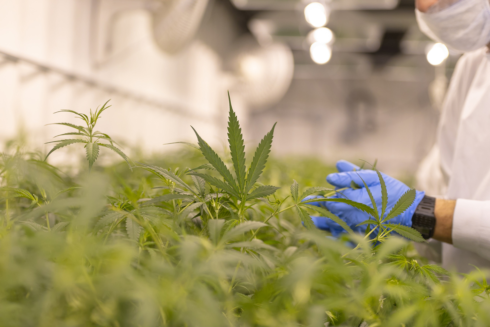 Close up of marijuana growing for a marijuana supplier.