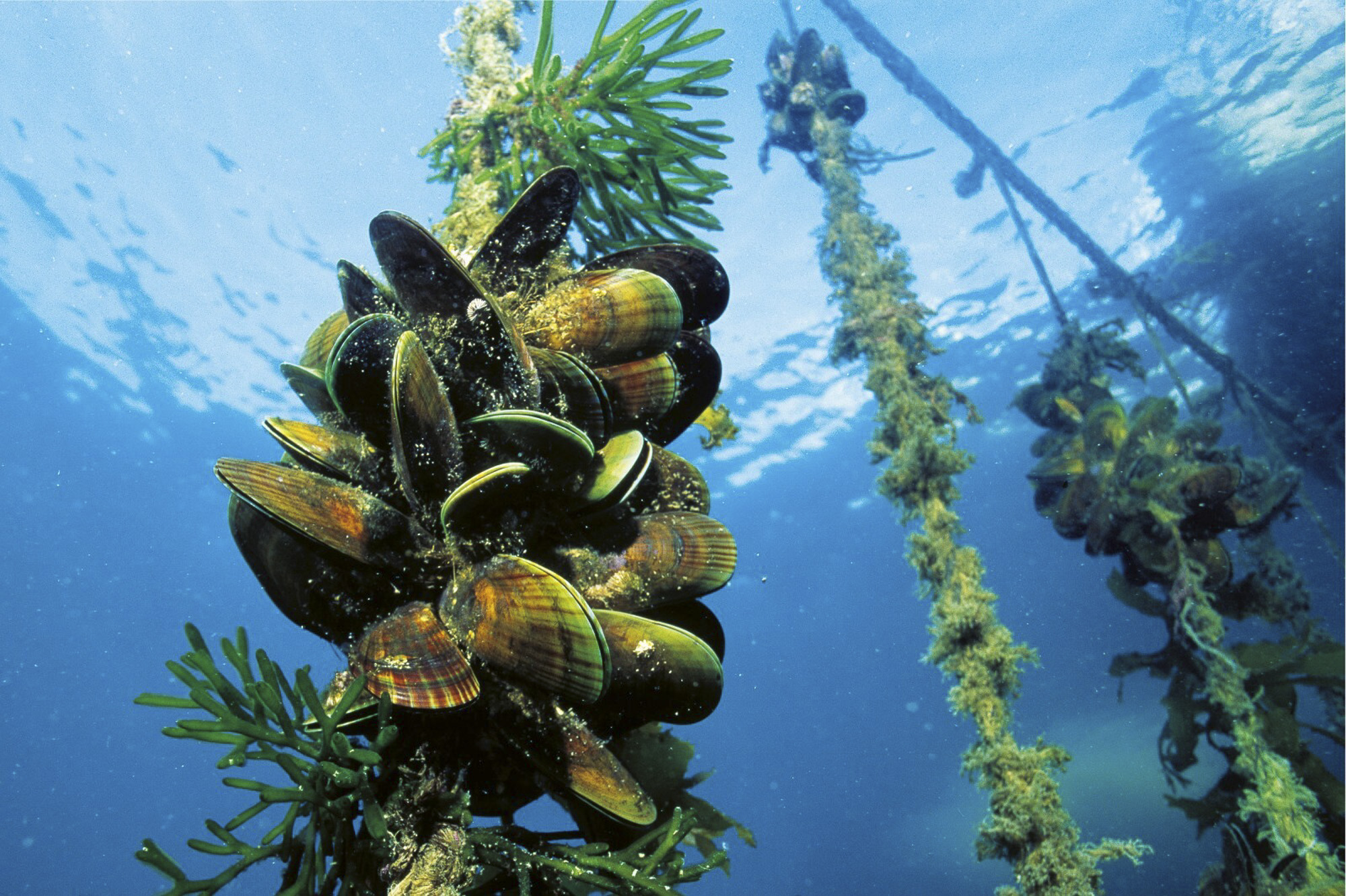 Underwater view of mussel longlines. A similar method for mussel farming has been proposed for aquaculture farms in California. Photo by South Australian Research and Development Institute via NOAA