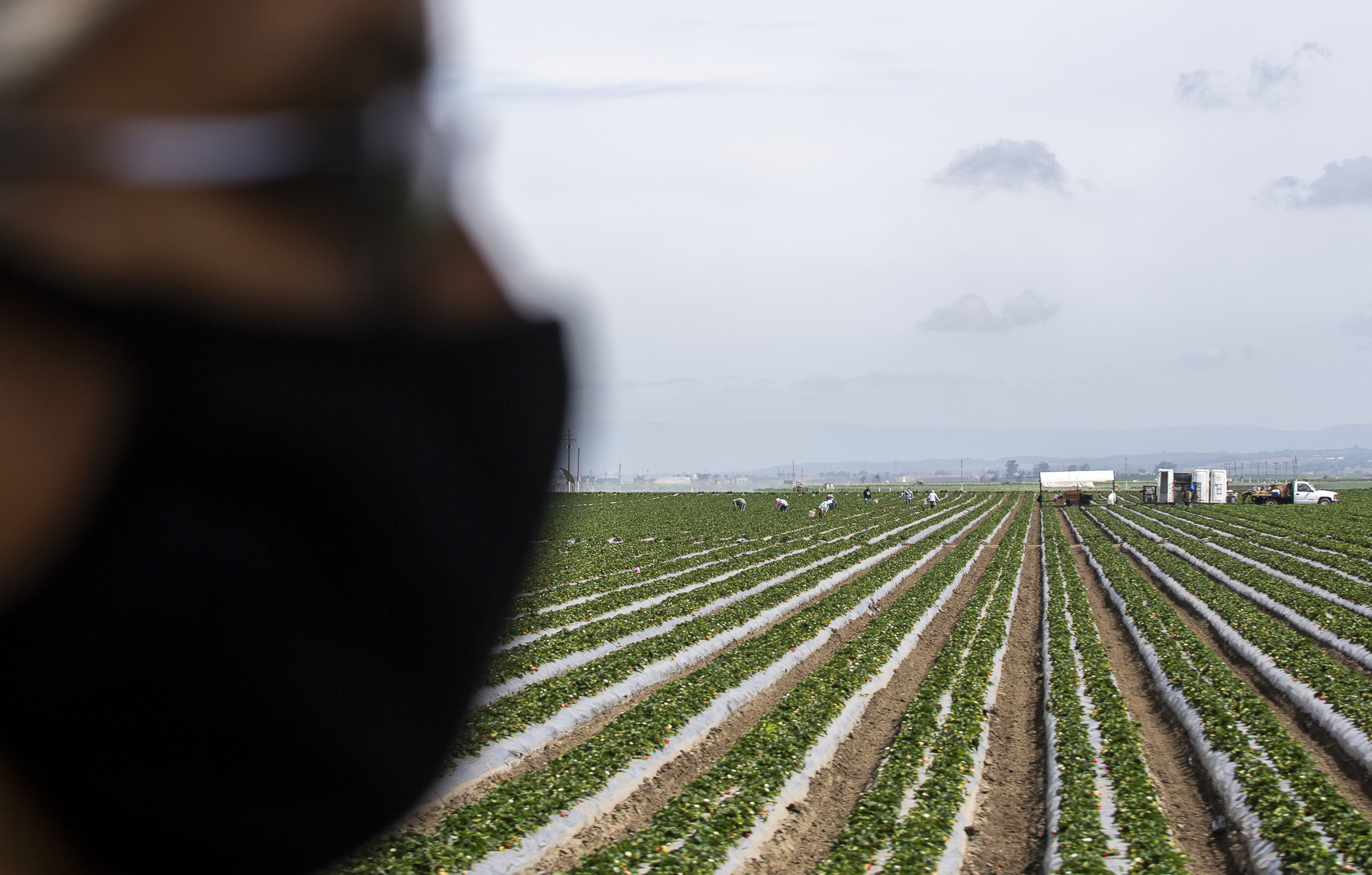 An essential worker wearing a face mask stands in a field of strawberries. In the distance, more workers pick on May 2, 2020. Photo by David Rodriguez, The Salinas Californian
